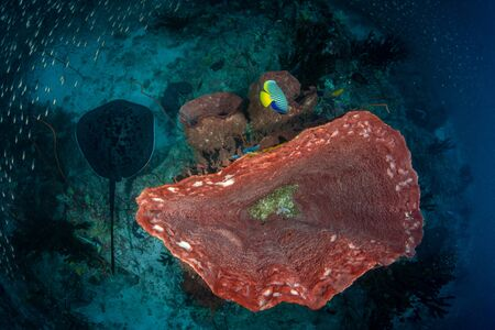 Top view on Blotched fantail ray, Taeniura meyeni in tropical deep blue water of Andaman sea swimming close to huge Barrel sponge coral.