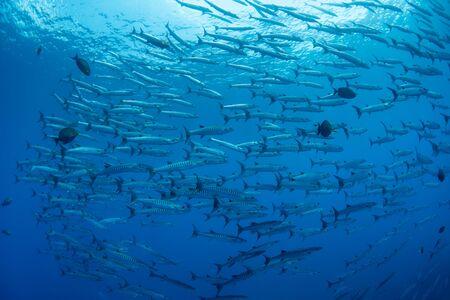 School of Chevron Barracuda, Sphyraena Putnamiae in a tropical blue waters of Andaman sea 写真素材