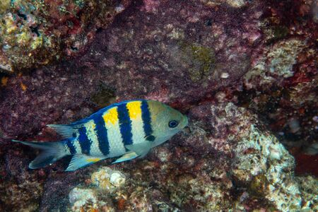 Sergeant Major, Abudefduf vaigiensis in a tropical coral reef