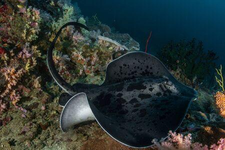 Blotched fantail ray, Taeniura meyeni in tropical deep blue water of Andaman sea