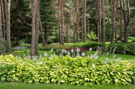 hostas: Lush Blooming Hostas in Parkline Back Yard