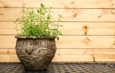 origanum: Oregano Plant in Decorative Clay Pot