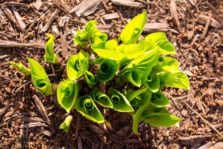 herbaceous border: Hostas Emerging in Springtime Sun