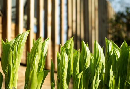 unfurling: Hostas Unfurling in Spring