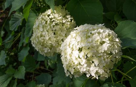 White Guelder Rose Blossoms