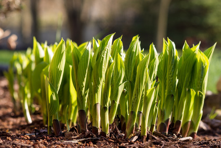 unfurling: Hostas Emerging in Spring