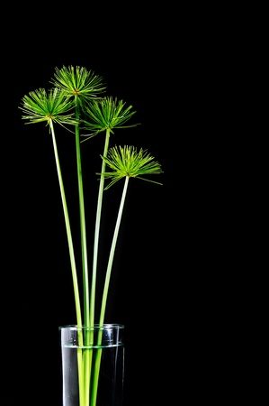 ornamental plant: papyrus green isolated on black
