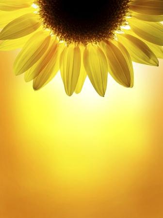 zonnebloem: Een zonnebloem op de zonsondergang hemel