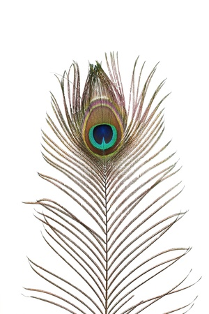 a peacock plume on white