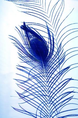 a  shape peacock plume on blue photo