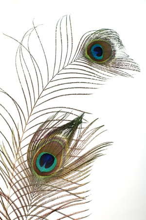 blue peafowl: a peacock plume on white