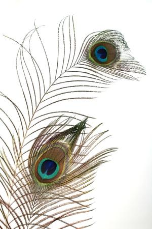 plumas de pavo real: una pluma de pavo real en blanco Foto de archivo