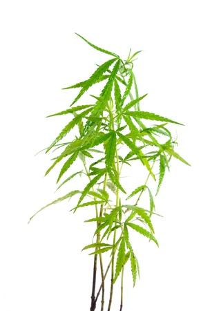 marijuana leaf wet on white background  photo