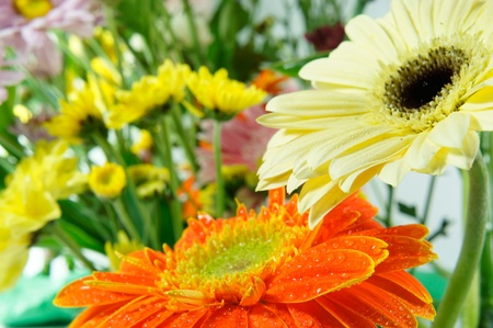 A colored gerberas flowers  background  Stock Photo - 10346536