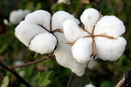 cotton flower: closeup of ripe cotton plant