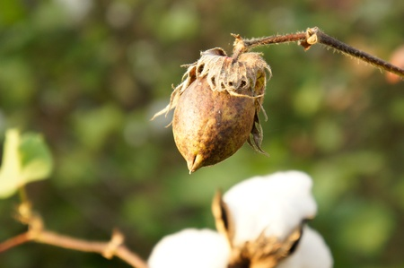 cotton crop: closeup of ripe cotton plant  Stock Photo
