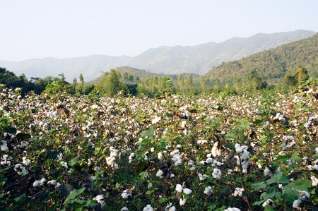 cotton thread: Cotton plants in a field against a blue sky