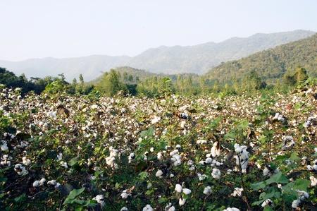 organic cotton: Piante di cotone in un campo contro un cielo blu