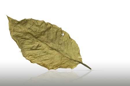 impermanent: A dried leaf tearing isolated on white Stock Photo