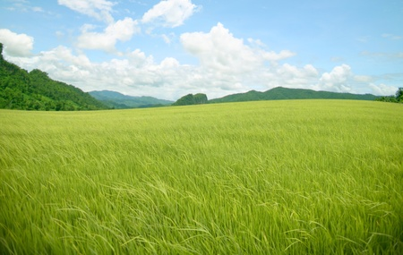 paddy fields: agriculture rice mountain on sky Stock Photo