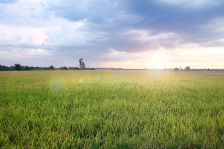 paddy fields: Green Terraced Rice Field at Sunset  Stock Photo