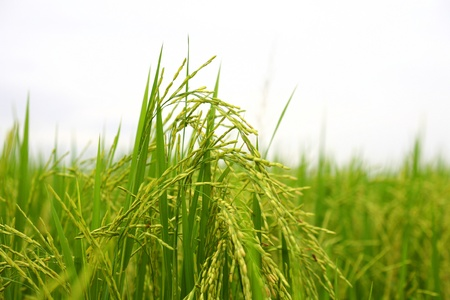 maturing: close up Maturing Green Rice Plants