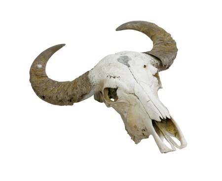 buffalo skull with horns on white (path in side) photo