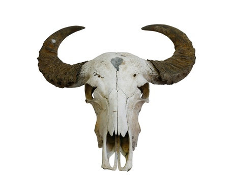 buffalo horn: buffalo skull with horns on white (path in side) Stock Photo