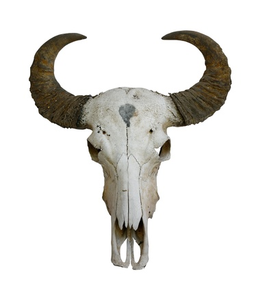 Cow skull with horns on white (path in side) Stock Photo - 11877688
