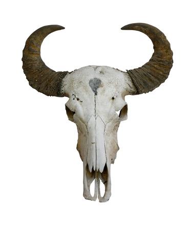 cuernos: Vaca cr�neo con cuernos en blanco (camino en el lado)