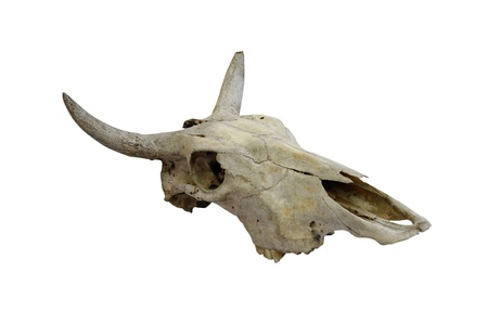 Cow skull with horns on white (path in side) photo