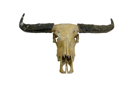 calavera caricatura: Buffalo cr�neo con cuernos en blanco (camino en el lado)