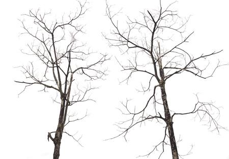 2 árboles muertos secos. Las ramas de los árboles muertos y secos aislados.
