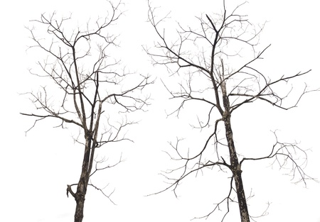 knotting: 2 Dead trees Dried. Branches of dead trees and dry isolated.