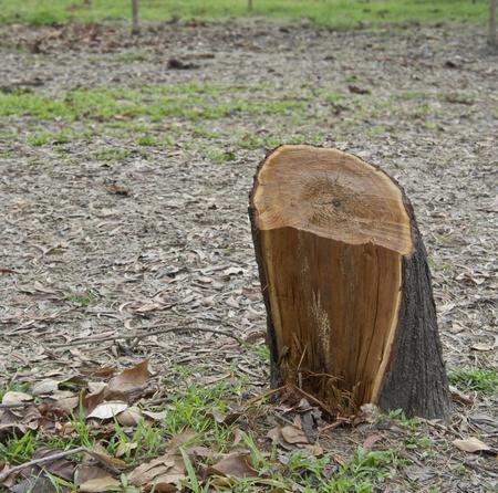 sawed: Close-up Stump of a freshly cut tree