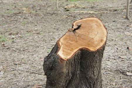 Close-up Stump of a freshly cut tree  photo