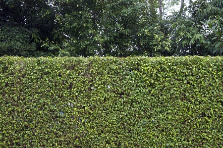 hedge plant: Green leaves wall background