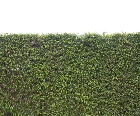 Les feuilles vertes mur isolé sur fond blanc Banque d'images