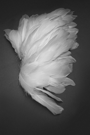 white wings feather on dark background  photo