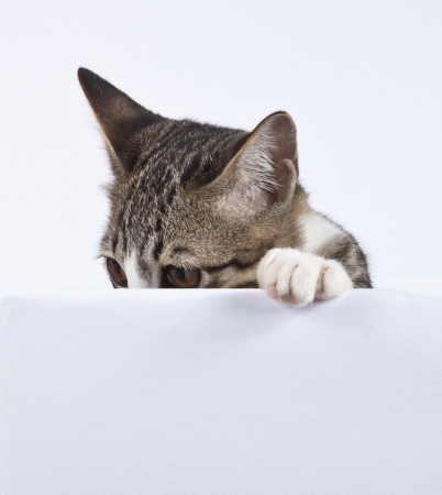 Kitten looking on blank sign 