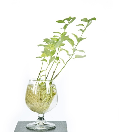 severance: leaves and roots in a glass.  Stock Photo
