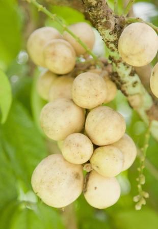 longan: Yellow Longkong fruit on tree