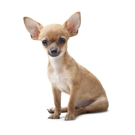 cane chihuahua: vicino, giovane cane ritratto seduto su sfondo bianco