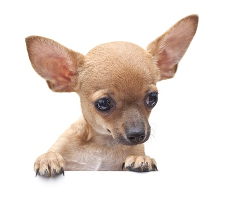 chihuahua: young dog with parted lips portrait close-up.