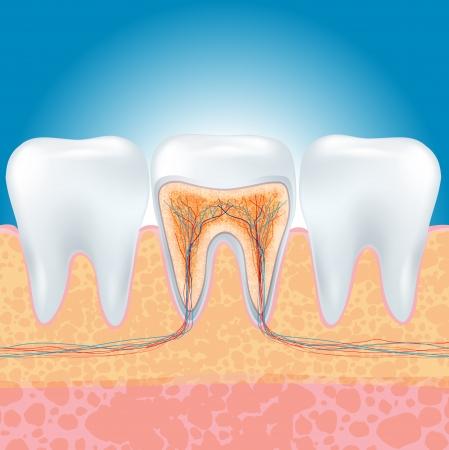 펄프: 치아 섹션의 그림입니다.
