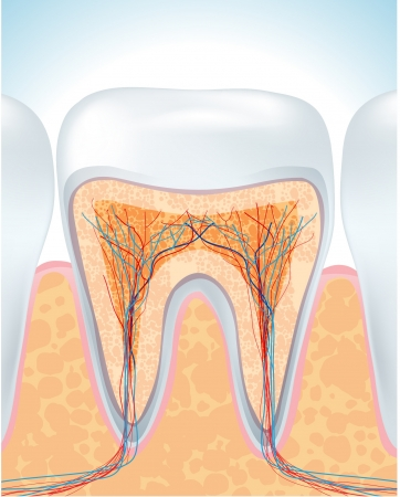 Tooth anatomy  illustration  vector design  Vector
