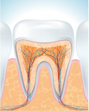 cementum:  Tooth anatomy  illustration  vector design
