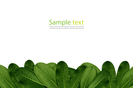 waxy: a leaves plumeria  frame background