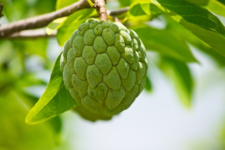 Custard apple agriculture, apple,