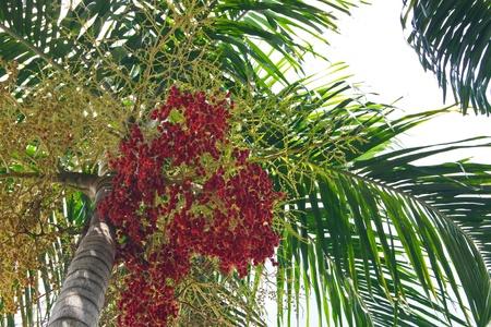 betelnut: Ripe Betel Nut Or Areca Nut Palm On Tree